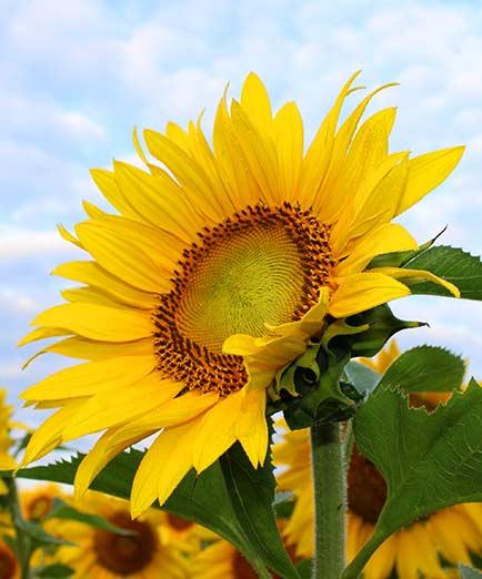 sunflower-450231-crop@434w